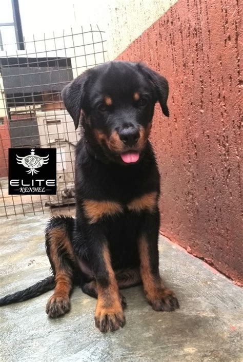 4 month rottweiler 4 months pedigree rottweiler available for a new home pets nigeria