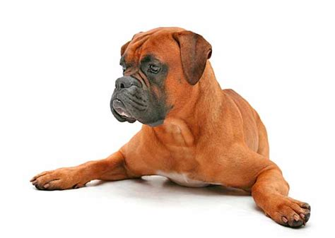 Light Brown Boxer Dog