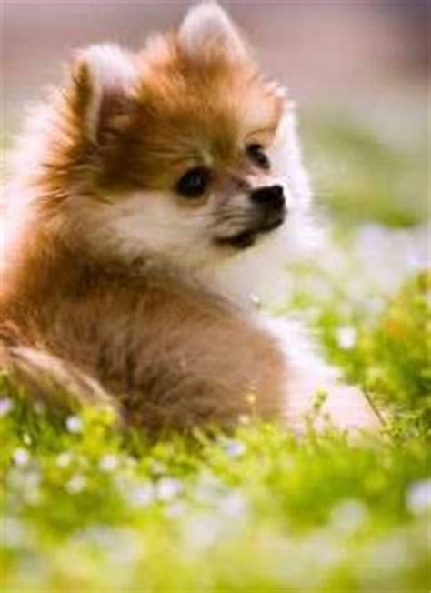 pomeranian has diarrhea pomeranian vomiting throwing up petpom