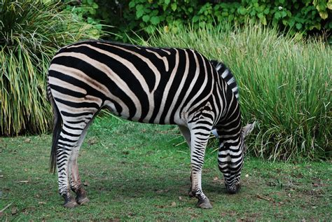 quagga software wikipedia file chmans zebra adelaide zoo side view jpg