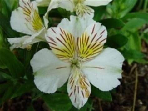 significato fiore giglio significato giglio significato fiori giglio linguaggio