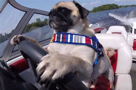 dog driving boat video happy friday here s a pug on a boat pug life adorable