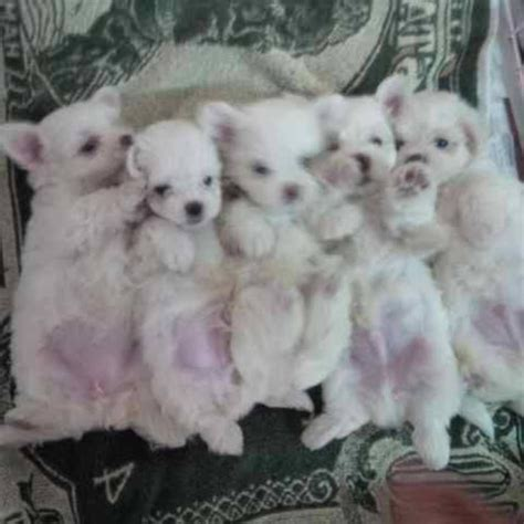 baby maltese puppy maltese puppies baby maltese