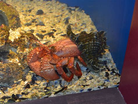 hermit crab heat l giant hermit crab