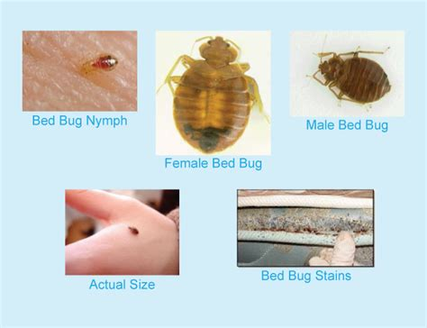 identifying bed bugs how to identify bed bugs bed bug pest control halt pest control