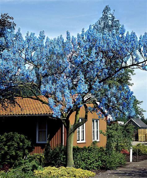 Chinesischer Blauglockenbaum Kaufen by Die Besten 25 Blauglockenbaum Ideen Auf