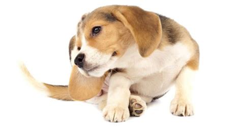 what to do when your has puppies what to do if your fleas all about dogs