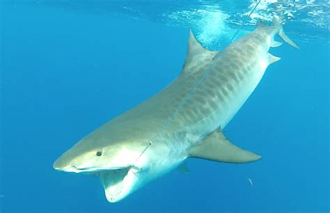 tige boats wiki tiger shark fish