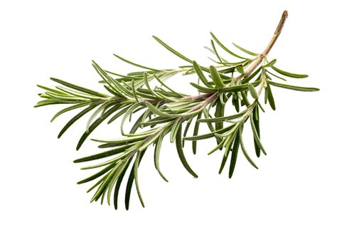 rosemary transparent clipart