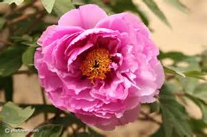 flower images single peony flower pictures images 232