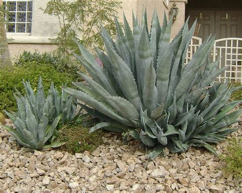 century plant also know as the american agave