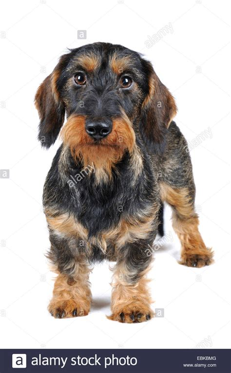 wire haired dogs wire haired dachshund puppies www imgkid the image kid has it