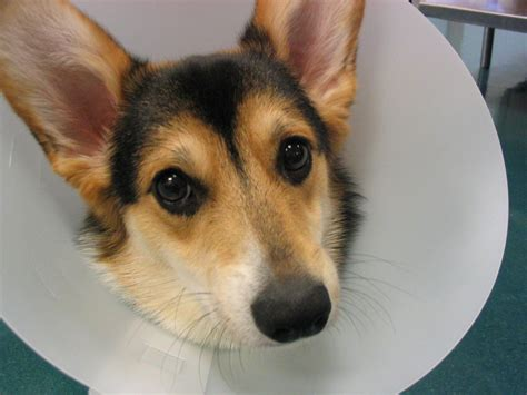 cone for dogs best collar for dogs after surgery not plastic cones humans for dogs