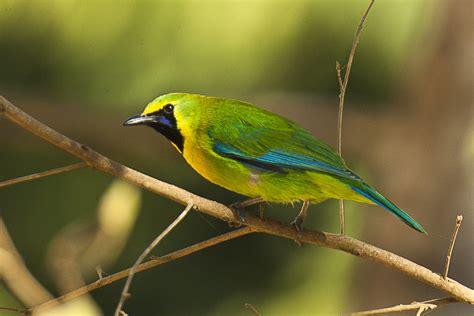file blue winged leafbird thailand h8o5844 16432256783