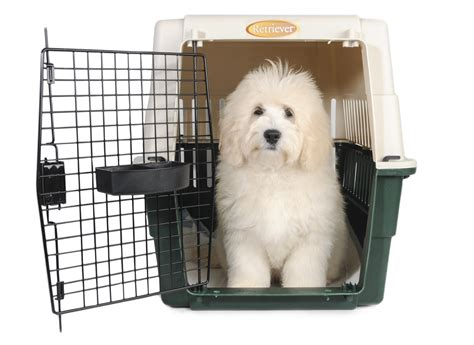goldendoodle puppy crate puppy care teddybear goldendoodles