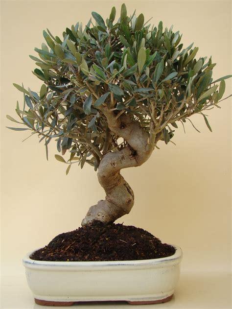 genki bonsai oliven b 228 umchen genki bonsai
