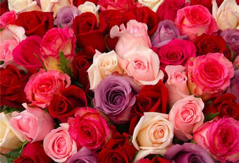 red and pink red white and pink roses pictures to pin on pinterest