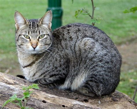 Domestic Cat   Natural History on the Net