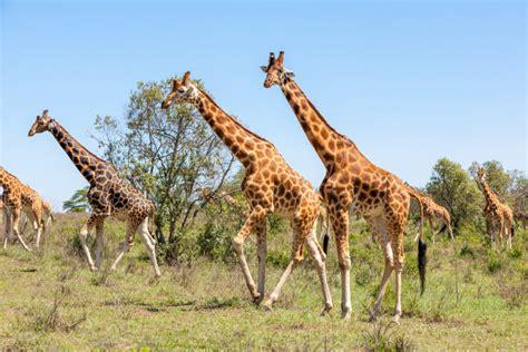 ver imagenes jirafas reportajes y fotograf 237 as de jirafa en national geographic