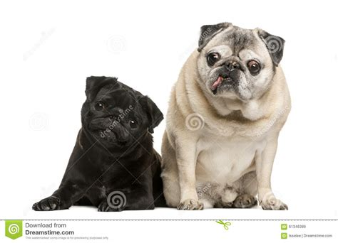 two pugs two pugs stock photo image 61346399