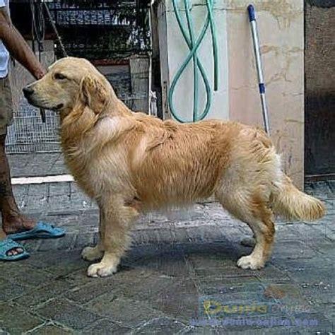 Boneka Anjing Golden Quality dunia anjing jual anjing golden retriever for sale golden ret puppies quality sisa 1