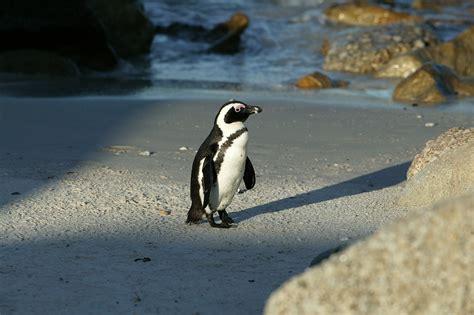 African Penguin 2 High Resolution Wallpaper ...