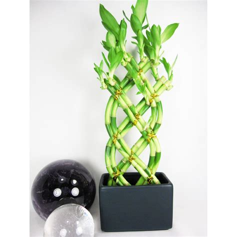 Vase For Bamboo Plant by Live 8 Braided Style Lucky Bamboo Plant Arrange W Black