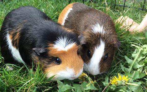 long  guinea pigs   guide  guinea pig lifespan