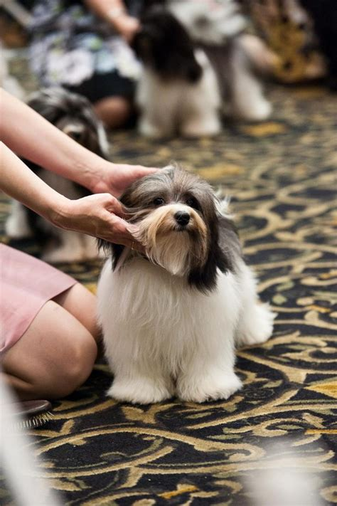 havanese club 1000 images about havanese on westminster show and puppys