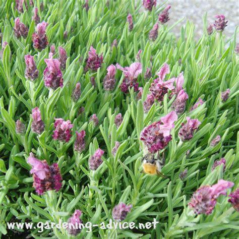 perennial garden flowers perennial garden plants flower gardening advice for