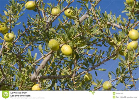 argan tree fruit fruit of the argan tree argania spinosa stock photo