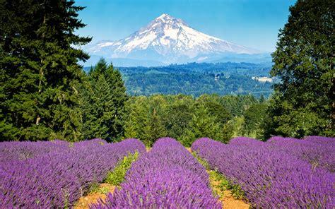 lavender field wallpaper 1377607