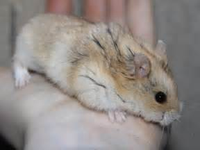 hamster colors russian hamster cbell hamster colors the