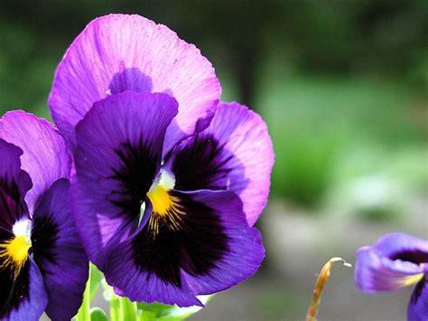viole fiore viola pensiero viola tricolor piante annuali la