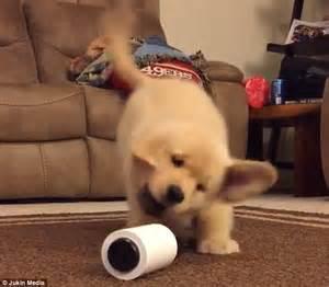 golden retriever seer golden retriever puppy freaks out a lint roller lying on the floor africanseer