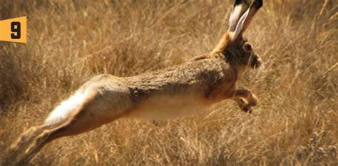 imagenes animales que saltan top 10 animales saltarines algarab 237 a ni 241 os