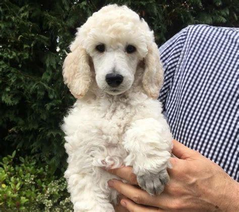 standard poodle puppies gorgeous standard poodle puppies available lancashire pets4homes