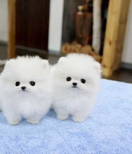 tiny teacup pomeranian puppies for sale in ohio 25 best ideas about pomeranian puppies for sale on teacup pomeranian