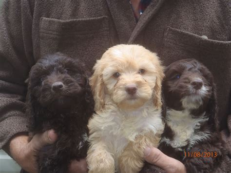 cockapoo puppies available for sale cockapoo puppies for sale exeter pets4homes