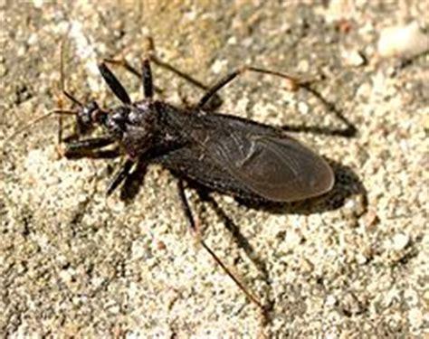 bed bugs wiki reduvius personatus wikipedia