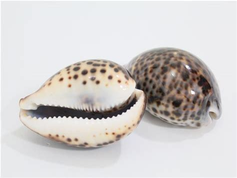 cowrie shell tiger cowry shell alohaoutlet
