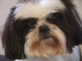 Shih Tzu Rescue Shih Tzu Rescue Adoption Application