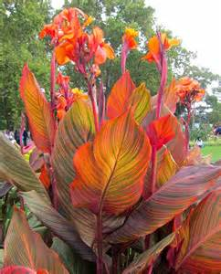 Container Gardening Magazine - canna durban amazing multicolour foliage canna plant