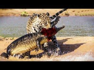 what food do jaguars eat biome food chain jaguar