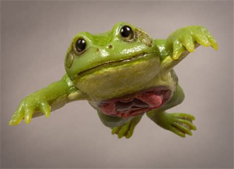 Dissected Frog
