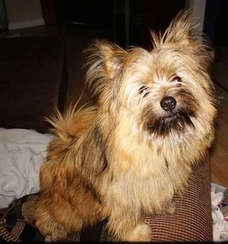 terrier and pomeranian mix cairanian breed information and pictures