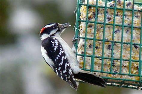 how to make homemade suet suet recipes birds blooms