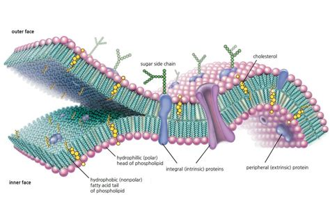 plasma membrane diagram cell membrane function and structure