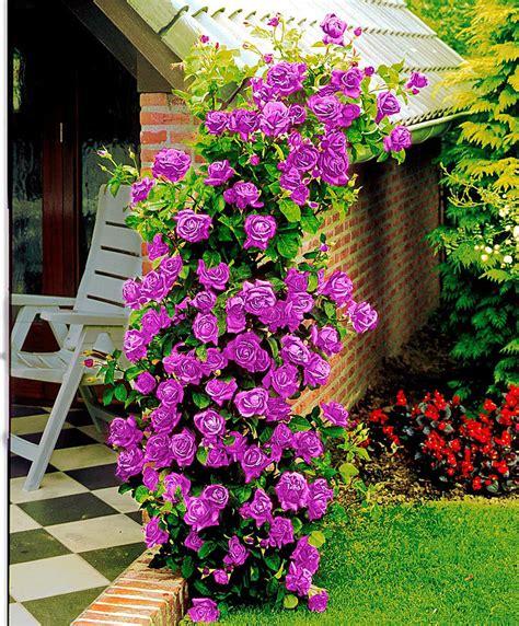 fiori bakker acquista rosa ricante indigoletta bakker