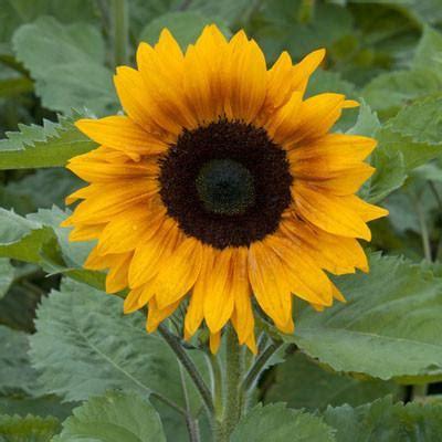 sunflower copper queen  harris seeds